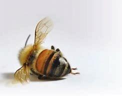 died bee.jpg